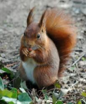 Cumbrian Red Squirrel